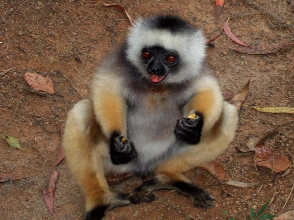 Madagascar lémurien