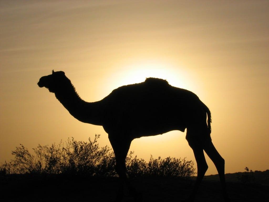 chameau coucher de soleil inde