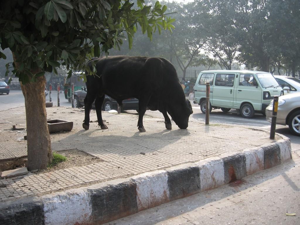 taureau rue new delhi inde
