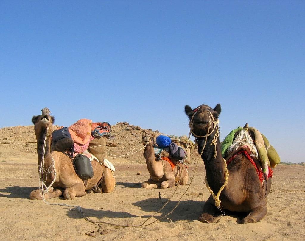 chameaux desert thar jaisalmer