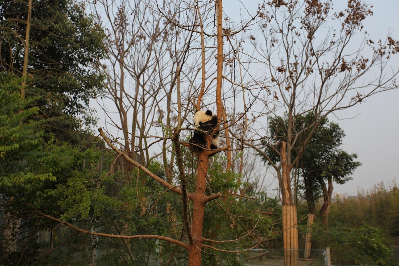 panda Chengdu Sichuan