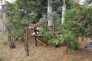 bébé panda Sichuan Chengdu