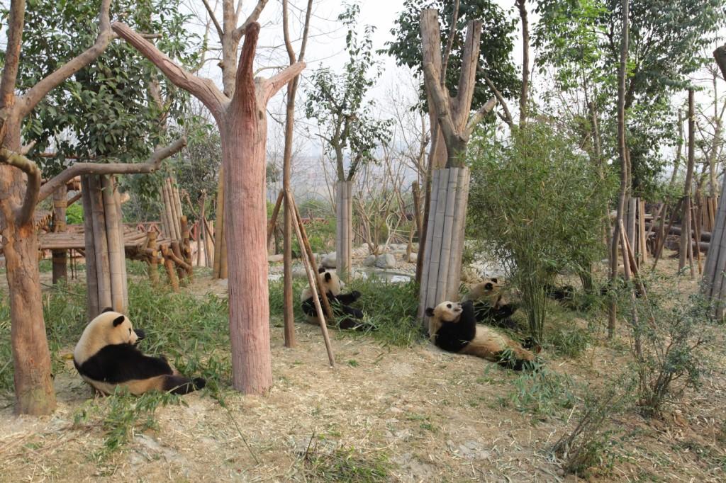 pandas géants Sichuan Chengdu repas