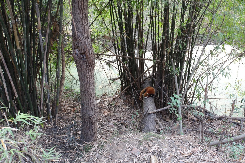 panda roux sichuan chengdu