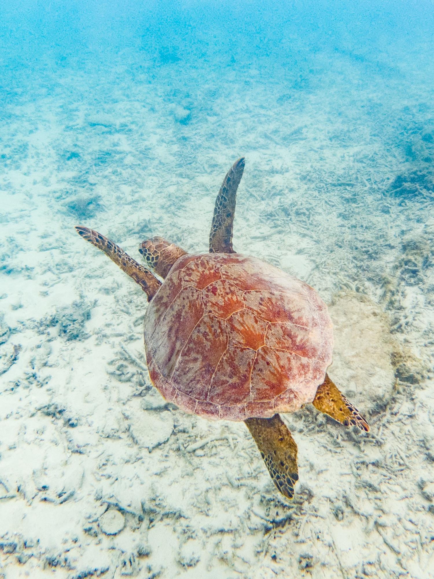Okinawa snorkeling tortues