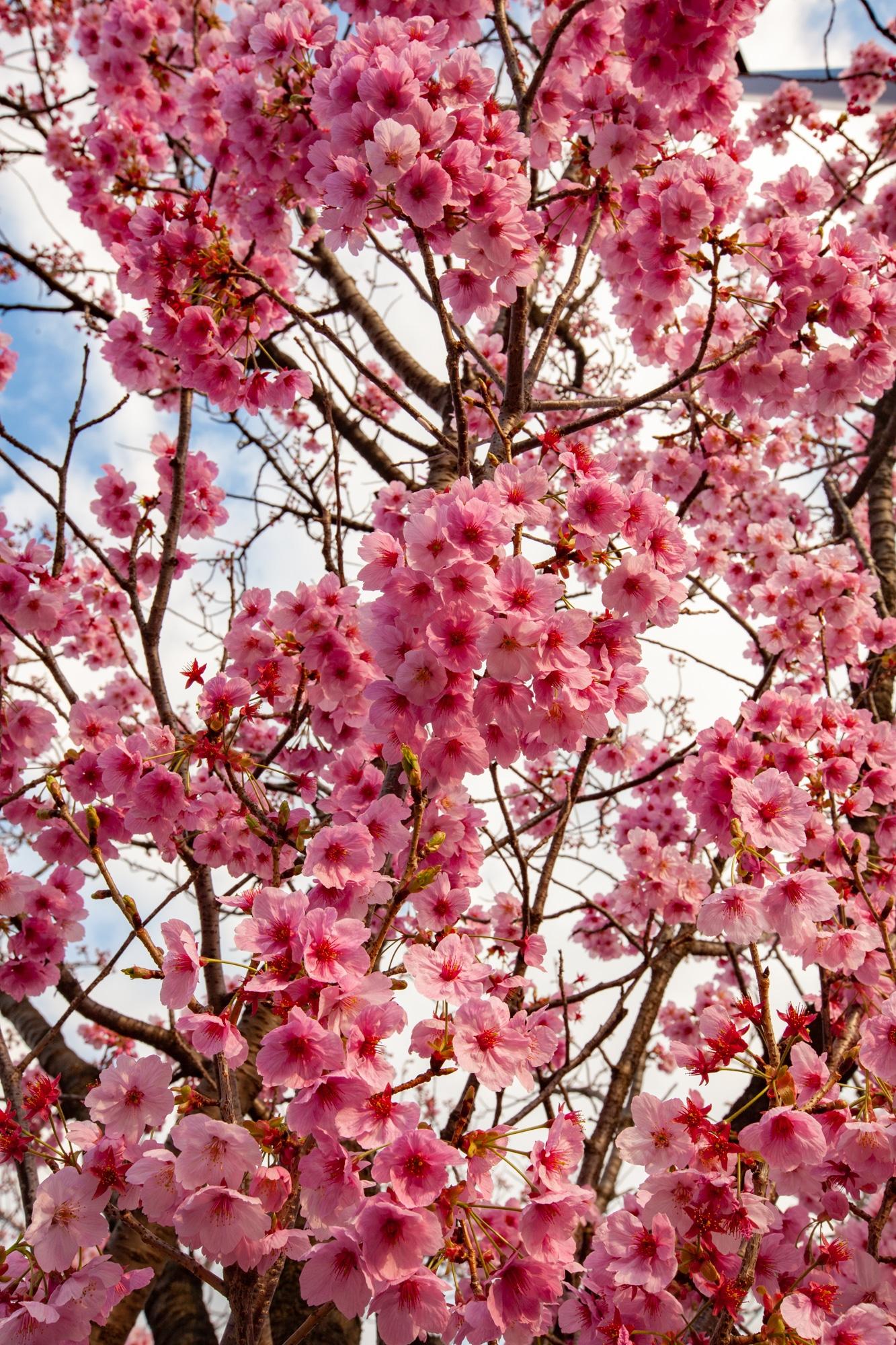 cerisier sakura Tokyo